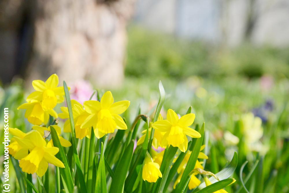 Frühling. Aufgenommen am 13. März 2016 im Schlosspark Stammheim im Kölner Nordosten. Foto: (c) Valeat.